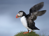 Atlantic Puffin (Fratercula Arctica) Flapping Wings  Iceland