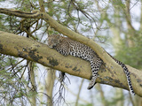 Leopard (Panthera Pardus) Relaxing in Tree  Kenya  Africa