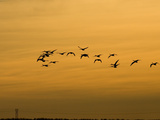 Tundra or Whistling Swans in Flight (Olor Columbianus)  Montana  USA