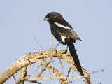Magpie Shrike  Urolestes Melanoleuca  Africa