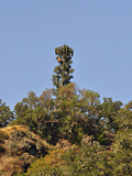Microwave Tower Camouflaged to Look Like a Coniferous Tree  Oregon  USA