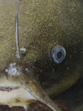 The Close-Up of the Head of a Black Bullhead (Ameiurus Melas)
