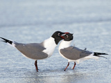 Laughing Gulls (Larus Atricilla) Courtship Feeding  Florida  USA