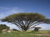 Flat-Topped Acacia Tree  Serengeti  Tanzania  East Africa
