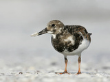 Ruddy Turnstone in Winter Plumage with a Tiny Clam in its Bill  Arenaria Interpres  Southern USA