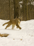Mountain Lion (Felis Concolor) Running in the Snow