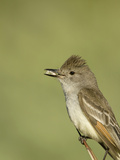 Close-Up of a Perched Ash-Throated Flycatcher (Myiarchus Cinerascens)