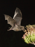 Mexican Long-Tongued Bat (Choeronycteris Mexicana) a Nectar-Feeding Bat at Agave Palmeri Flowers