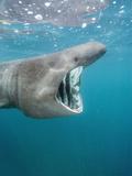 Basking Shark (Cetorhinus Maximus) Filter Feeding on Plankton Off Cornwall  England