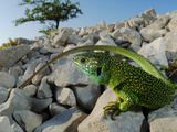 A Western Green Lizard (Lacerta Bilineata) Warming on the Rocks  Croatia