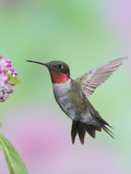 Male Ruby-Throated Hummingbird (Archilochus Colubris) at Swamp Milkweed