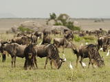 White-Bearded Wildebeest Herd Grazing with Cattle Egrets  Serengeti National Park  Tanzania