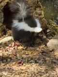 Striped Skunk (Mephitis Mephitis)  Seacrest Wolf Preserve  Florida  USA