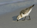 Juvenile Sanderling Foraging  Calidris Alba  Southern USA