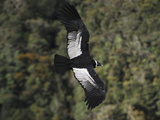 Female Andean Condor in Flight (Vultur Gryphus)  Puracâ» National Park  Department Cauca  Colombia