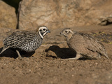 Montezuma or Mearns&#39; Quail Male and Female (Cyrtonyx Montezumae) Scratching for Food