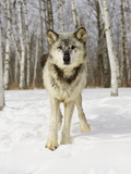 Gray Wolf (Canis Lupus)  Northern Minnesota  USA