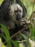 Monk Saki (Pithecia Monachus)  Pacaya-Samiria National Park  Peru