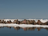 Walrus (Odobenus Rosmarus Rosmaru) Hauled Out on Pack Ice to Rest and Sunbathe