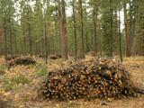 Thinning of a Ponderosa Pine Forest to Improve Growth and Reduce the Fire Danger