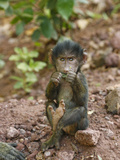 Olive Baboon Baby Eating  Papio Anubis  Tanzania  Africa