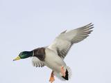 Male Mallard Duck (Anas Platyhynchos)  Montana  USA