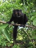Male Black Lemur (Eulemur Macaco Macaco) Lokobe Nature Special Reserve  Northern Madagascar