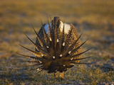 Male Greater Sage-Grouse (Centrocercus Urophasianus)
