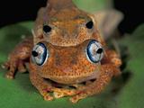 Dumeril's Bright-Eyed Frog (Amplexusboophis Tephraeomystax) in Amplexus on a Leaf