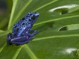 Blue Poison Dart Frog (Dendrobates Azureus)  Captivity
