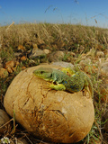 Ocellated Lizard (Timon Lepidus) Is One of the Most Huge and Beautiful Lizards of Europe