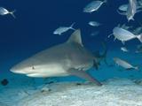 Bull Shark Female (Carcharhinus Leucas)  Playa Del Carmen  Mexico  Caribbean Sea
