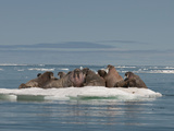 Walrus Group (Odobenus Rosmarus Rosmarus) Hauled Out on Pack Ice to Rest and Sunbathe