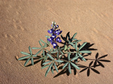 Low or Rusty Lupine (Lupinus Pusillus) and Shadows on Sand  Arches National Park  Utah  USA