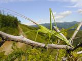 Predatory Bush Cricket (Saga Pedo)
