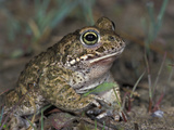 Natterjack Toad Head (Bufo Calamita)  Switzerland