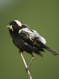 Bobolink with an Insect in its Bill (Dolichonyx Oryzivorus)  USA