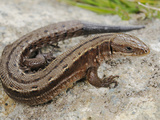Common or Viviparous Lizard (Zootoca Vivipara)  Alps  Italy