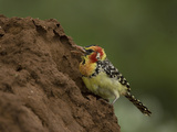 Red and Yellow Barbet Feeding on a Termite Mound  Trachyphonus Erythrocephalus  Kenya  Africa
