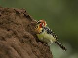 Red and Yellow Barbet Feeding on a Termite Mound  Trachyphonus Erythrocephalus  Kenya  Africa