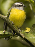 Bananaquit  Coereba Flaveola  Northern South America