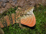 Anolis Lizard Throat Pouch Display (Dactyloa Insignis)  Cloud Forest  Costa Rica
