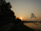 The Last Sun Rays of the Day Shining on a Bridge Spider (Larinioides Sclopetarius)