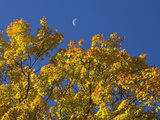 Crescent Moon in the Daytime Sky over Fall Maple Trees