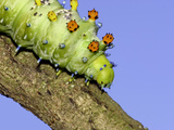 Cecropia Moth Caterpillar (Hyalophora Cecropia) on Tree Branch