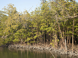 Red Mangroves (Rhizophora Mangle) Mangrove Trees Help Extend Land Outwards into Shallow Bays