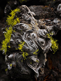 Wolf Lichen (Letharia Vulpina) Growing on a Dead Conifer  Camp Sherman  Oregon  USA