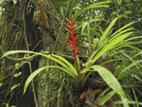 Tropical Rainforest with a Flowering Bromeliad  San Cipriano Reserve  Cauca  Colombia