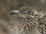 Greater Roadrunner Head  Geococcyx Californianus  Western North America