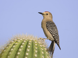 Gila Woodpecker (Melanerpes Uropygialis) Perched